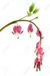Цветок Разбитое сердце