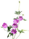 Цветок Герань оптом