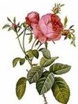 Английские розы оптом