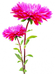 Цветок Астры оптом