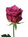 Чайно-гибридные розы оптом