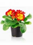 Комнатные цветы оптом