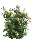 Мелкоцветковые розы оптом