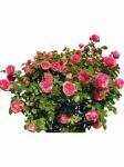 Парковые розы оптом