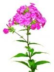 Цветок Флокс