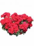 Почвопокровные розы оптом