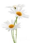 Цветок Ромашка оптом