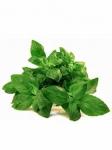 Семена пряных и зеленых культур оптом