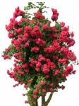 Вьющаяся роза оптом