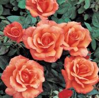 Роза вьючаяся Сансет