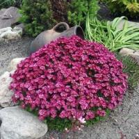 Камнеломка Пурпурный ковер (20 шт/упак) оптом