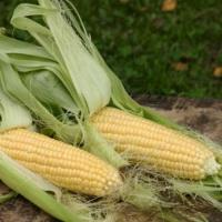 Кукуруза Санданс (20 шт/упак) оптом