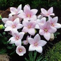 Платикодонов Гаваи розовый (20 шт/упак) оптом