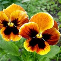 Виола Дует крупноцветкова