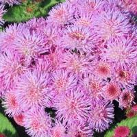 Агератум Розовый шар (20 шт/упак) оптом