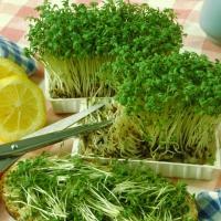 Салат Кресс-салат (20 шт/упак) оптом