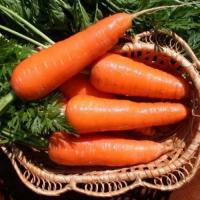 Морковь Московская позняя (20 шт/упак) оптом