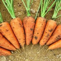 Морковь Шантане (20 шт/упак) оптом