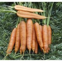 Морковь Скарла (10 шт/упак.) оптом