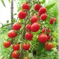 помидор шалун