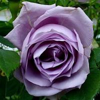 роза вьючаяся блу мун вьющийся новинка