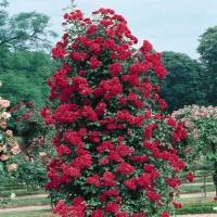роза вьючаяся норита