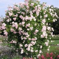роза вьючаяся нью даун