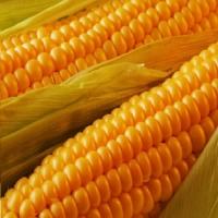 Кукуруза Ранняя Золотая (20 шт/упак) оптом