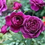 Бордюрная роза патио Нью Эйдж оптом