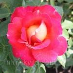 Роза парковая Павлиный глаз (3шт/упак)