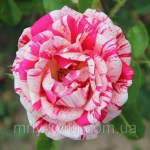 Роза парковая Пападжена (3 шт/упак.) оптом
