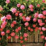 Роза вьющаяся Розовая Жемчужына (3шт/упак)