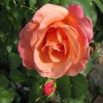 Роза вьющаяся Скул Герл (5шт/упак)