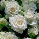 Мелкоцветковая роза Уайт Леди оптом