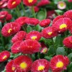 Астра Винная ягода (20 шт/упак) оптом