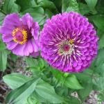 Цинния Пурпурный принц (20 шт/упак) оптом