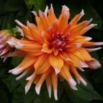 Георгина кактусовая Color Spectacle оптом