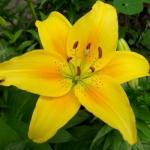Луковицы лилии Deliana (10 шт/упак.) оптом