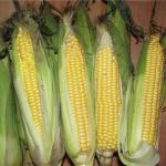 Кукуруза Сахарная Медуница (20 шт/упак) оптом