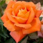 Роза чайно-гибридная Луи де Фюнес (5шт/упак)