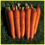 Морковь Красный великан (20 шт/упак) оптом