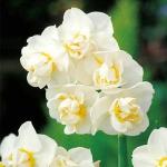 Нарцисс Cheerfulness многоцветк. (20 шт/упак)