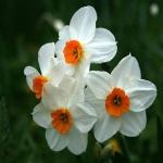 Нарцисс  Гераниум - Geranium многоцветк. (20 шт/упак)