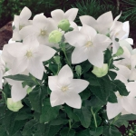 Платикодонов Гаваи белый (20 шт/упак) оптом