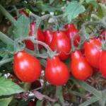 Помидор Груша Красная (20 шт/упак) оптом
