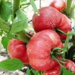 Помидор Малиновый картофель (20 шт/упак) оптом