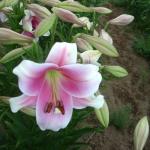 Луковицы лилии Prince Promise (10 шт/упак)