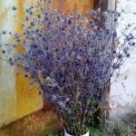 Синеголовник (сухоцвет) (20 шт/упак) оптом