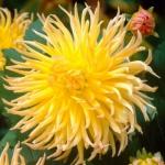 Георгина кактусовая Star Spectacle