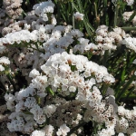 Статица Айсберг (сухоцвет) (20 шт/упак) оптом